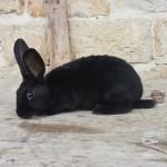 Lapin Rex - Femelle noire
