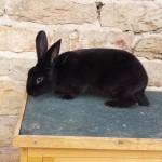 Lapin Rex - Noir mâle