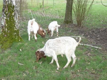 Chèvres Boer