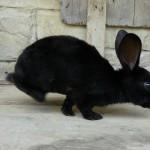 Dalmatien noir - mâle
